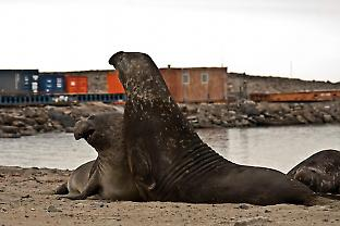 Elephant seals on the beach at Davis come into regular contact with wastewater